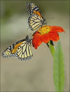 14th annual birds and butterfly festival - Fremont, CA 6/9/2013  Monarch butterflies by Don-Jedlovic