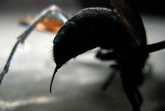 """La picadura de esta avispa es tan dolorosa que la única recomendación de la ciencia es: """"tumbarse y gritar"""" http://es.gizmodo.com/la-picadura-de-esta-avispa-es-tan-dolorosa-que-la-unica-1819217762"""