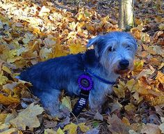 Oliver earned a L1I (Level 1 Interiors) title from the National Association of Canine Scent Work on 11/23/2014!!! He loves the sport of Nose Work. So proud of my 15 year old working boy!