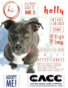 Holly is #adoptable and #adorable at CACC Adoptable pets on Facebook or CACC in #Chicago