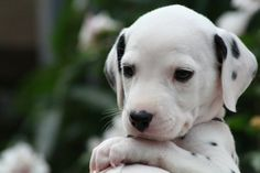 Everyone knows I love my husky puppies but I've always wanted a dalmatian puppy as his friend :)