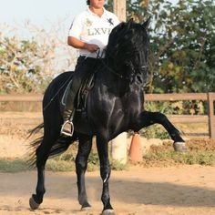 Black PRE Stallion - High School Trained Name: Diamante XLIII Sire: Diamante XXIII Dam: Mejicana XXXIV Birthdate: 7/10/03 Color: Black Height: 16.1 Price: Private Treaty Registration: ANCCE Revised Location: San Diego, CA - See more at: http://andalusianworld.com/blog/black-pre-stallion-high-school-trained/#sthash.GVOBMSeg.dpuf