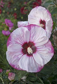 Perennials for sale, buy Hibiscus 'Cherry Cheesecake' PPAF