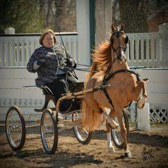 Hackney pony...Repinned with gratitude by Dressage Waikato...