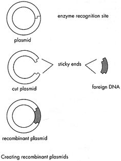 Diagram quiz on steps in recombinant dna or rdna technology how the mark of the beast will rewrite the human genome part three corrupting ccuart Choice Image