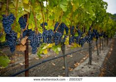 Check! - Grapes and Autumn leaves in the Napa Valley of California.