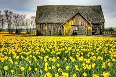 yellow accents on the barn to match the yard full of daffodils Country Barns, Old Barns, Country Life, Country Living, Country Roads, Farm Barn, Country Scenes, Barn Quilts, Daffodils