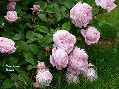 'Madame Louis Lévêque ' Rose Photo