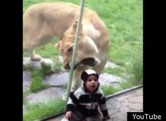 Thank goodness there was a thick sheet of glass between this lioness and this baby!