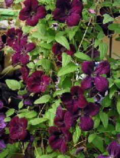 Clematis viticella Black Prince