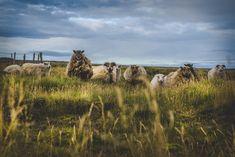 Travel Photography: Icelandic Sheep, Svodufoss Farm,Snæfellsnes Peninsula, West Region, Iceland » Acalbright.com