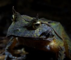 The endemic Solomon's Horned Frog (Patymantine genus) - Kolombangara Island, Solomon Islands. The Patymantine genus is the only frog to skip the tadpole stage. Les Reptiles, Reptiles And Amphibians, Funny Frogs, Frog And Toad, Solomon Islands, Fauna, Nature Animals, Science And Nature, Natural History