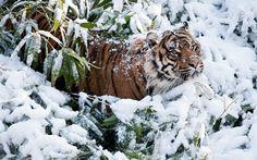 2017-03-23 - tiger backround for desktop hd, #1654634