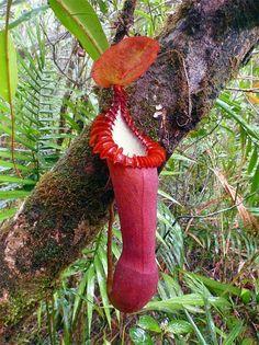 A Nepenthes spp é uma das espécies de plantas carnívoras mais conhecidas entre os jardinistas, é nativa de várias regiões, entre elas: ...
