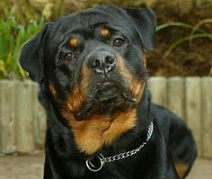 The Rottweiler is one of the most intelligent, fearless, and hardest working dog breeds. These same qualities can make Rottweilers a handful for some owners. Careful consideration should be given before deciding to bring this loyal companion into. Big Dogs, I Love Dogs, Dogs And Puppies, Doggies, Rottweiler Dog Photos, German Rottweiler, Dressage, Loyal Dogs, Large Dog Breeds