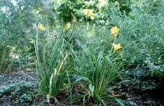 Hemerocallis middendorffii Amur daylily, Middendorf, Daylily