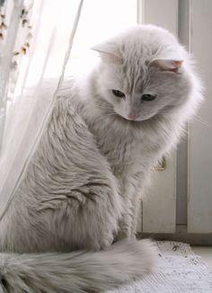 All white Kitty Cat. #cat #cute #cats =^..^= www.zazzle.com/kittyprettygifts