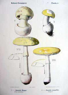 1910 Antique poisonous mushrooms Amanita Mappa and amanita junquillea lithograph, original vintage color fungus print, mushroom engraving Mushroom Species, Poisonous Mushrooms, Antique Prints, Vintage Colors, Prehistoric, Different Colors, Stuffed Mushrooms, The Originals, Antiques