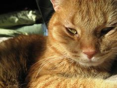 Milton-an-adoptable-cat-in-Minneapolis