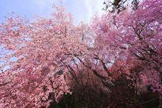 Old cherry tree by Yasutoshi Yamamoto on 500px