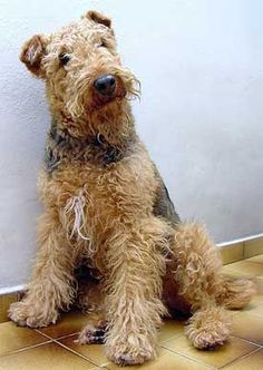 Airedale Terrier...love the white on his/her chest!