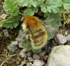 Rare honey bee