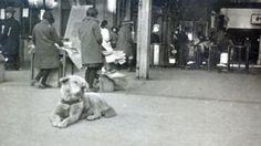 Nova foto divulgada de Hachiko de 1934. Reprodução  Nova foto rara de Hachiko foi encontrada.