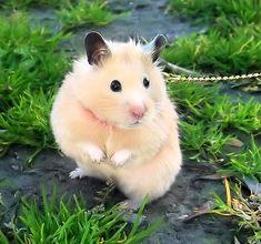 The cute hamster looks surprised