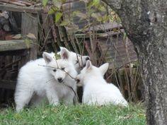 8 weeks old White Swiss Shepherd