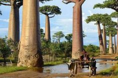These baobabs in Madagascar are excellent at storing water in their thick trunks to use during droughts. Delonix Regia, Oregon, Madagascar, Portland, Carolina Do Sul, Storing Water, Angel Oak, Tree Tunnel, Baobab Tree