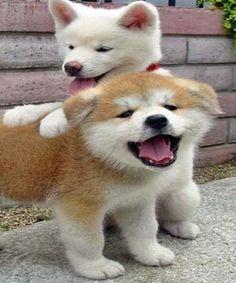 Akita Inu puppies are just terrifying… Animals And Pets, Baby Animals, Funny Animals, Cute Animals, Funny Dogs, Chien Akita Inu, Shiba Inu, Akita Inu Puppy, Akita Puppies