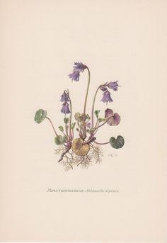 1954 Alpine Snowbell Botanical Print Vintage by Craftissimo