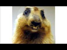 Marmotte chiante - Conseils - Répartie - Ep.02  Des conseils utile pour avoir de la réparties !  #maitrefun #marmotte #chiante #marmottechiante #vulgaire #humour #drole #comique Lion, Animals, French, Birthday, Birthday Humorous, Wish, Advice, Leo, Animais