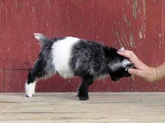 Baby animals are all adorable. If you think goats can't be cute, you better think again. Here's a list of the cutest mini goats you will ever see. Mini Goats, Cute Goats, Baby Goats, Cute Baby Animals, Farm Animals, Funny Animals, Pigmy Goats, Miniature Goats, Mini Farm
