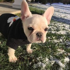 """Hey, All my snow is melting"", sad French Bulldog Puppy - Pug Puppies French Bulldog Rescue, French Bulldogs, Cream French Bulldog, French Bulldog Clothes, Puppy Gifts, Dog Socks, Cute Dogs And Puppies, Cutest Dogs, Cute Animal Photos"