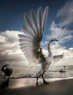 Swan stretching its wings Fast Crazy Nature Deals. Pretty Birds, Love Birds, Beautiful Birds, Animals Beautiful, Cute Animals, Beautiful Swan, Animal Pictures, Cool Pictures, Amazing Photos