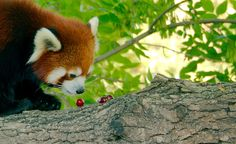 "Red and sweet. Foto: ""Red Panda_42"": https://flic.kr/p/xpy4H2 von Josh More/guppiecat auf flickr: https://www.flickr.com/photos/guppiecat/, CC BY-NC-ND 2.0: https://creativecommons.org/licenses/by-nc-nd/2.0/"