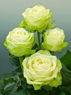 Green Romantica Roses