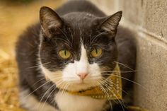 Meet Piglet -  Indy Animal Control kitty - ARLO program, a Petfinder adoptable Domestic Short Hair-black and white Cat | Muncie, IN | Piglet and her brother, Hobbs found themselves at Indy Animal Control when their owner became very...