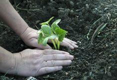 Secrete ale cultivarii castravetilor in gradina bio - magazinul de acasă