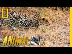 It's a Leopard Stakeout | Animal Fight Night - YouTube