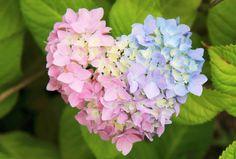(42) Twitter Hortensia Hydrangea, Hydrangea Garden, Hydrangeas, Heart In Nature, Heart Art, Flower Phone Wallpaper, I Love Heart, Love Symbols, Geraniums