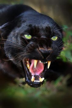 "Gorgeous black panther. Wow. In the words of Ogden Nash: ""If a panther calls, don't anther."""