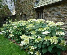 Imagine a lacecap hydrangea with flower heads that measure over a foot in diameter. That's what you get with 'Haas' Halo' hydrangea. The flowers appear all summer long and are held on sturdy stems that won't flop over with the first gust of wind. Use 'Haas' Halo' as a foundation or eye-catching specimen plant in your landscape. Name: Hydrangea arborescens 'Haas' Halo' Growing Conditions: full sun, partial shade Size: 3-5 feet tall and wide Zones: 3-9 Bloom Time: June-October/