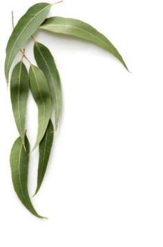 Leaves of the eucalyptus tree Leave In, Seeded Eucalyptus, Eucalyptus Leaves, Tree Leaves, Plant Leaves, Australian Flowers, Tree Seeds, Leaf Art, Grafik Design