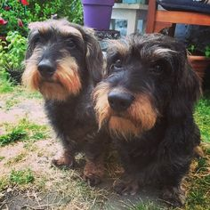 Adorable wirehaired dachshunds.