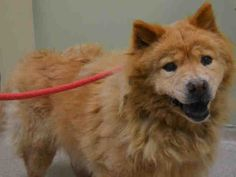 DONNA - A1084404 - Manhattan - Rescue Only Please Share: TO BE DESTROYED 08/08/16** NEW HOPE RESCUE ONLY ** While most would celebrate a life that was given more years than the average pet, once again the Urgent family is called upon for some fast help. Donna is a sixteen year old Chow Chow mix. she has lived in unity with her family, she is well mannered and lived her life in dignity. Health problems started to surface that the family could not afford. Donna was surrendered to the ACC of…