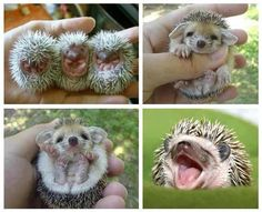 baby hedgehog compilation collection happy smiling tired sleepy hand rolled up ball sweet cute animals wild wildlife species planet earth nature pics pictures photos images Cute Creatures, Beautiful Creatures, Animals Beautiful, Beautiful Babies, Simply Beautiful, Cute Baby Animals, Funny Animals, Cute Hedgehog, Pygmy Hedgehog