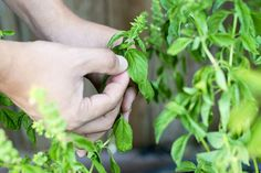 How to Prune a Basil Plant (with Pictures)   eHow