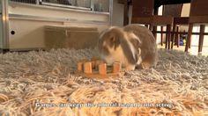 Zijn konijnen te trainen? Een video waarin je kunt zien dat je konijnen heel veel kunt leren. Bijvoorbeeld in de kooi gaan, een High Five geven, nageltjes knippen, et cetera ------------------------- Are rabbits trainable? A video about how rabbits can be tought a lot - going into its cage when asked, clipping nails, braingames, puzzles, agility, High Five